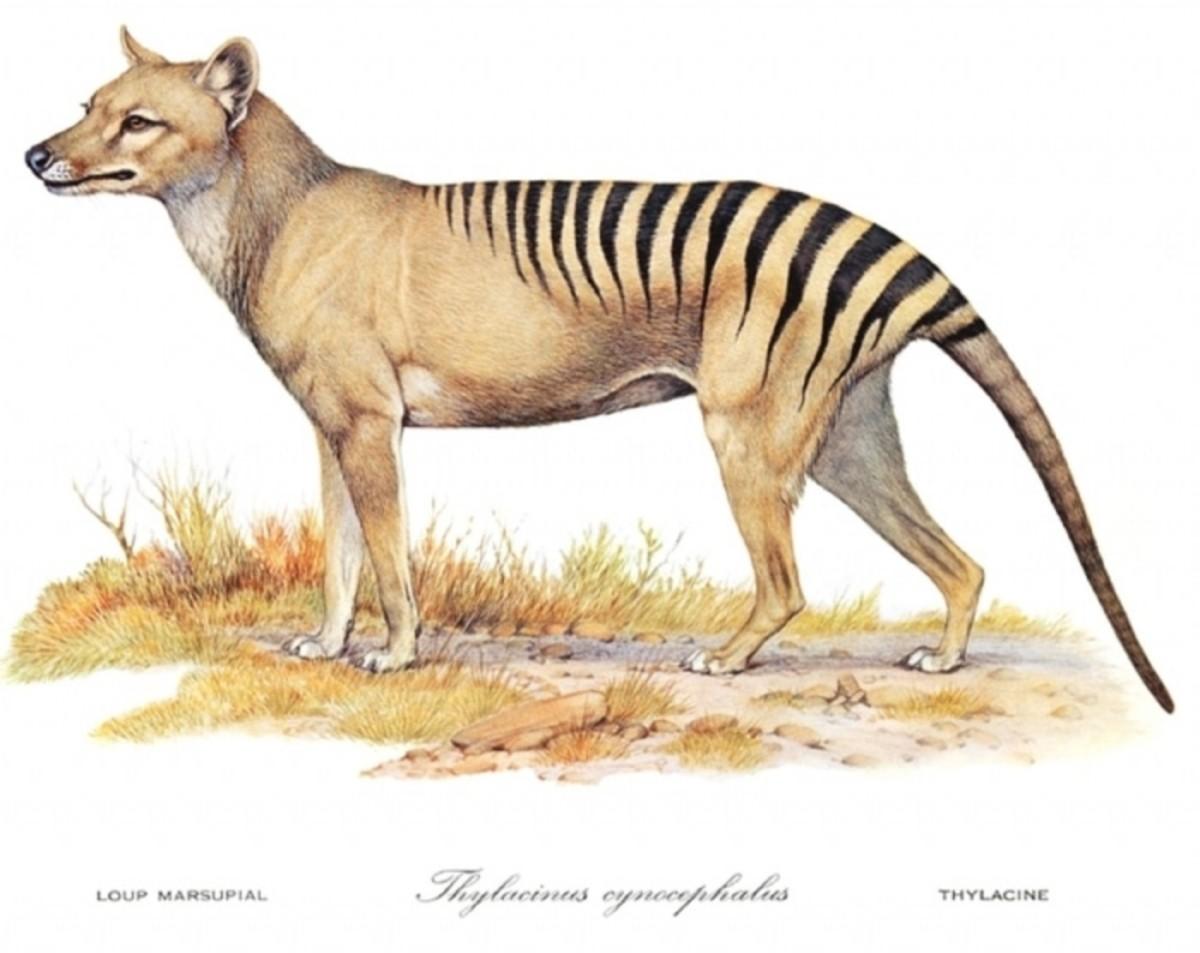 Tasmanian-Tiger-1400x1112